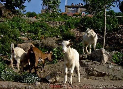 barcelona_goats