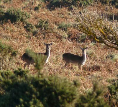 fallow-deer-at-rame-head-cornwall