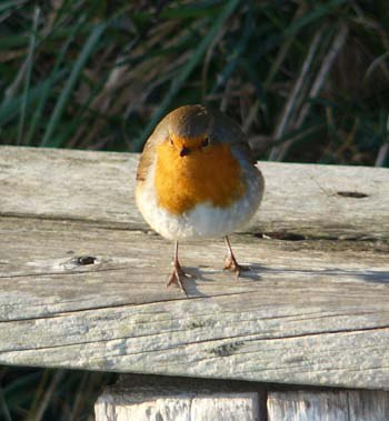 robin-working-the-walkers-on-rame-head