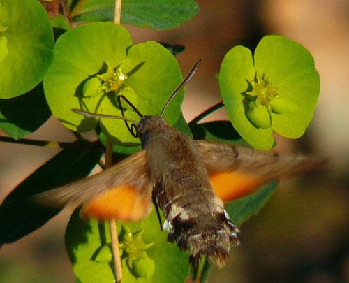 hummingbird hawkmoth uncoils proboscis