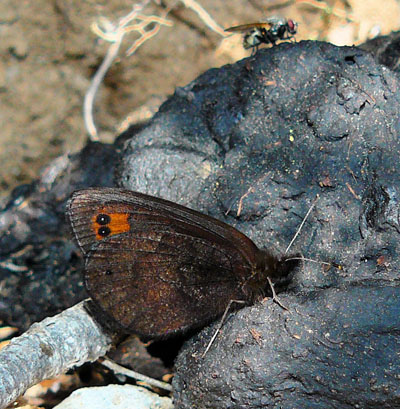 butterfly-on-dung