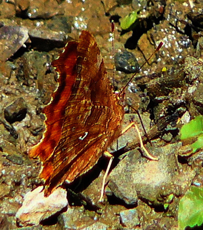 comma-butterfly-underwing-polygonia-c-album