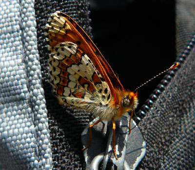 fritillary-on-zip-melitaea-sp