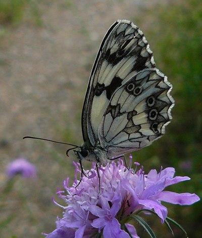 marbled-white-melanargia-lachesis