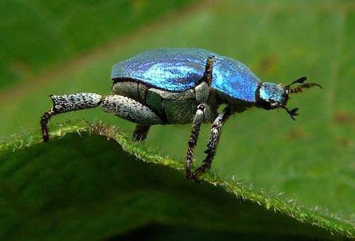 chafer-beetle-hoplia-caerulea