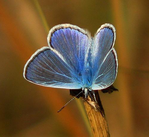 common-blue-polyommatus-icarus
