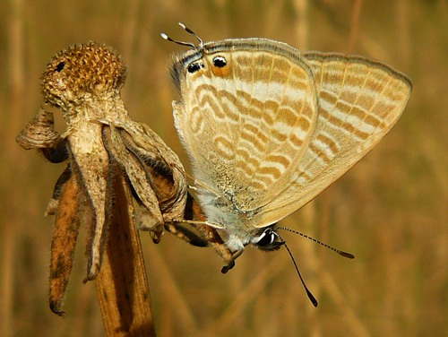 longtailed-blue-lampides-boeticus
