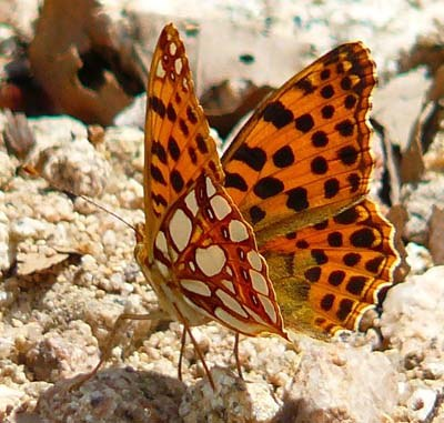 queen-of-spain-fritillary