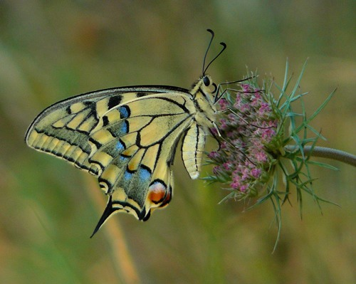 swallowtail-papilio-machaon