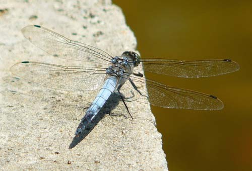 black-tailed-skimmer-orthetrum-cancellatum