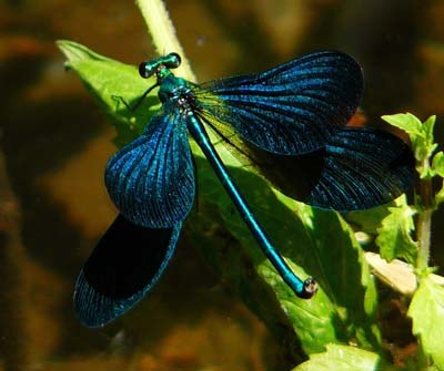 calopteryx-virgo-beautiful-demoiselle