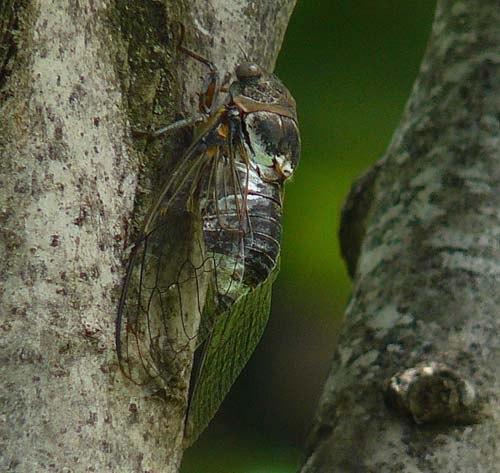 cicada-tibicen-plebejus