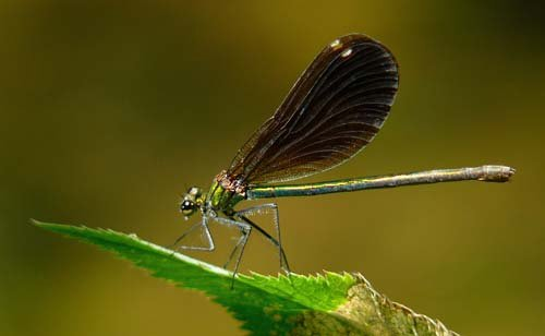 female-beautiful-demoiselle-calopteryx-virgo