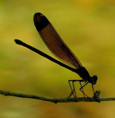 female-copper-demoiselle