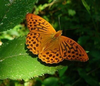 silver-washed-fritillary-argynnis-paphia