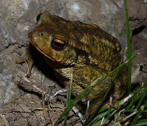 common-toad-bufo-bufo