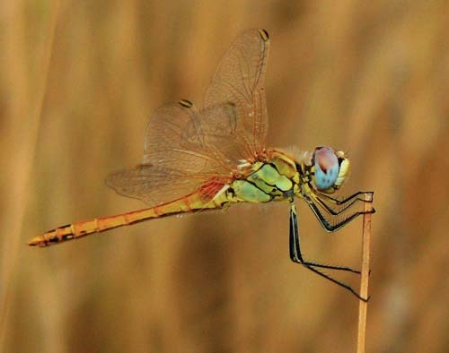 immature-red-veined-darter-sympetrum-fonscolombii