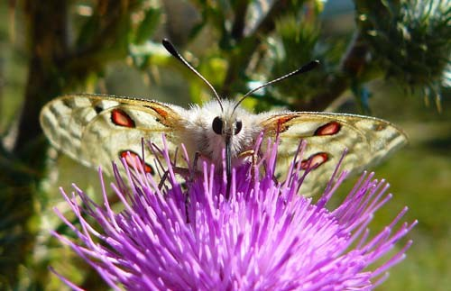 apollo-butterfly-parnassius-apollo