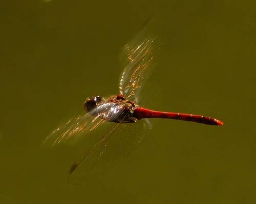 hovering-darter-sympetrum-sp