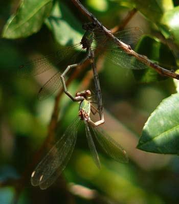lestes-viridis-mating-damselflies