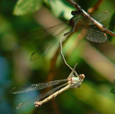 lestes-viridis-mating-female