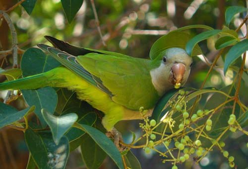 monk-parakeet-eating-berries