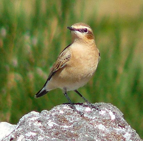 northern-wheatear
