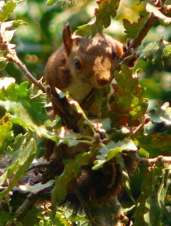red-squirrel-in-pedralbes-park