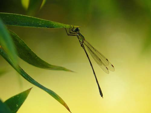 western-willow-spreadwing-on-leaf
