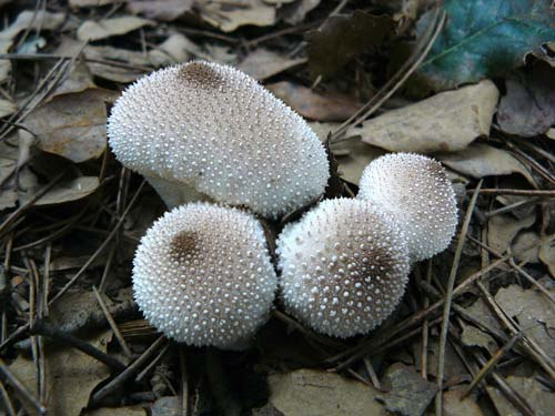 common-puffball-lycoperdon-perlatum