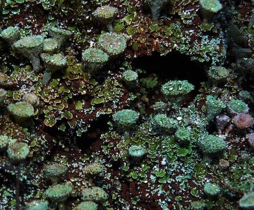 lichen-in-collserola