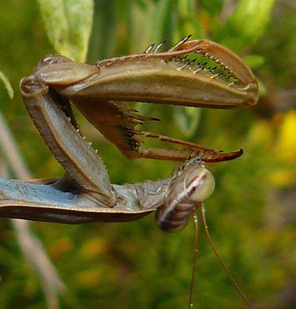 praying-mantis-grooming-after-meal