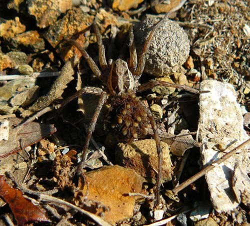 wolf-spider-hogna-radiata-and-spiderlings
