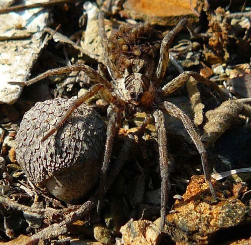 wolf-spider-hogna-radiata-with-young