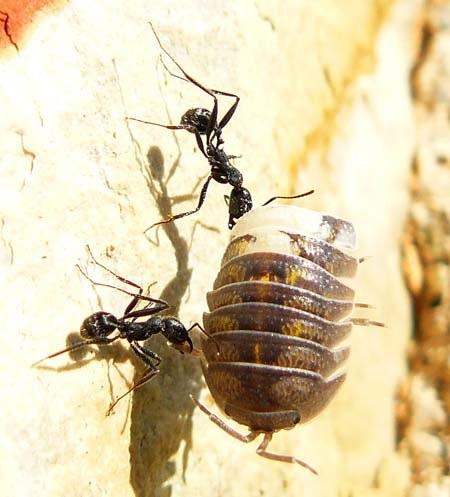 ants-carry-woodlouse