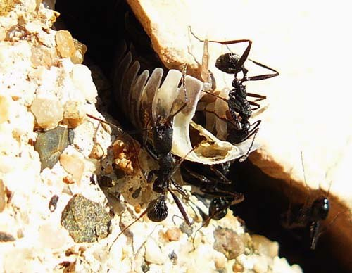 ants-squeeze-woodlouse-through-hole
