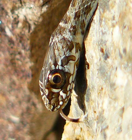 malpolon-monspessulanus-montpellier-snake-tongue-flickering