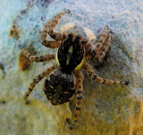 menemerus-semilimbatus-jumping-spider-from-above
