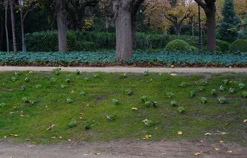 monk-parakeets-in-barcelona-park