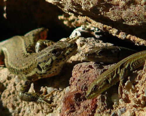 sunbathing-wall-lizards