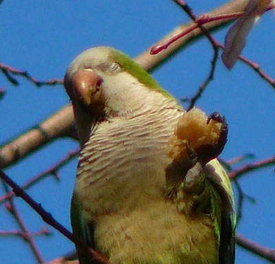 happy-monk-parakeet