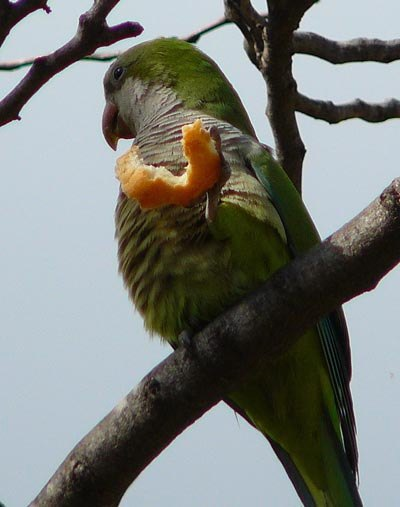 monk-parakeet-eats-bread