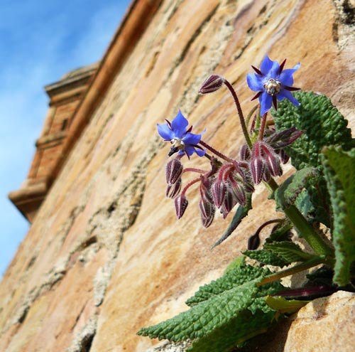 common-borage-growing-in-wall