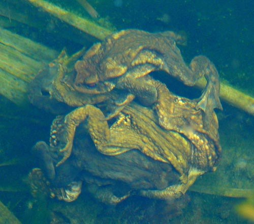 common-toads-mating-underwater