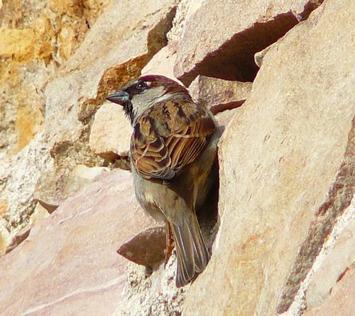 male-house-sparrow-by-nest-hole