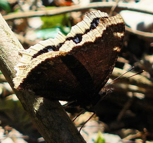 camberwell-beauty-nymphalis-antiopa-underwing
