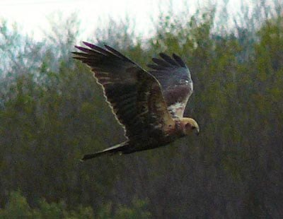 marsh-harrier-patrolling-the-aiguamolls