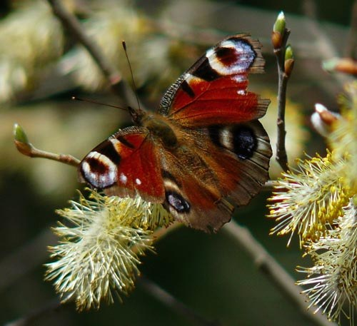 peacock-butterfly-inachis-io-out-of-hibernation