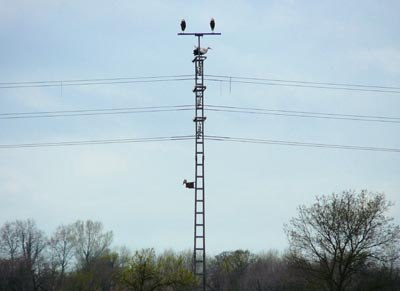 storks-and-kestrels-on-pylon-in-the-aiguamolls