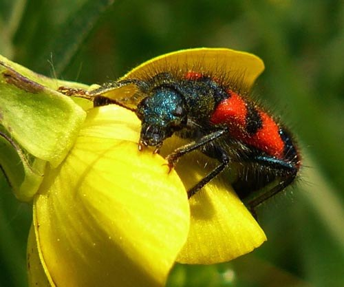 bee-beetle-trichodes-apiarius